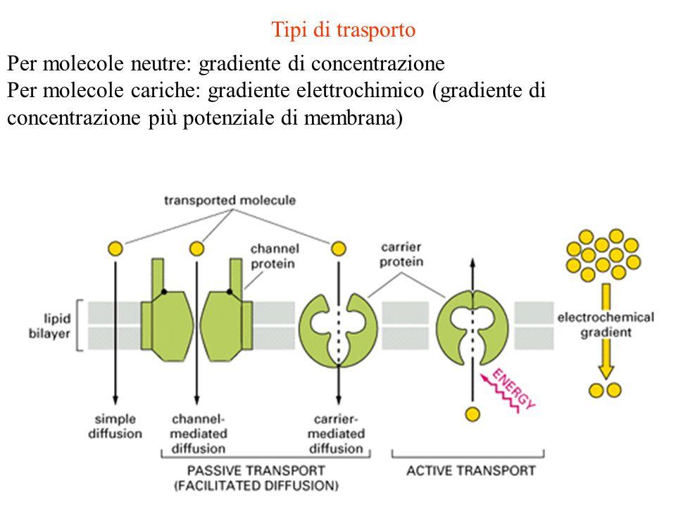 Tipi di trasporto Per molecole neutre: gradiente di concentrazione.