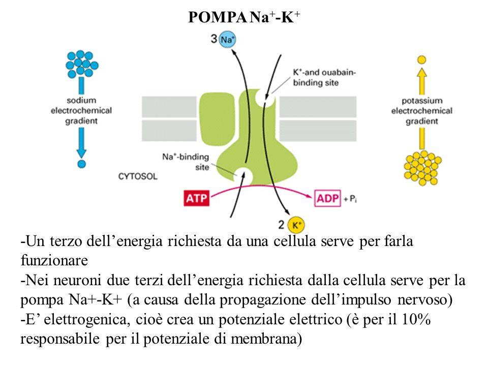 POMPA Na+-K+ -Un terzo dell'energia richiesta da una cellula serve per farla funzionare.