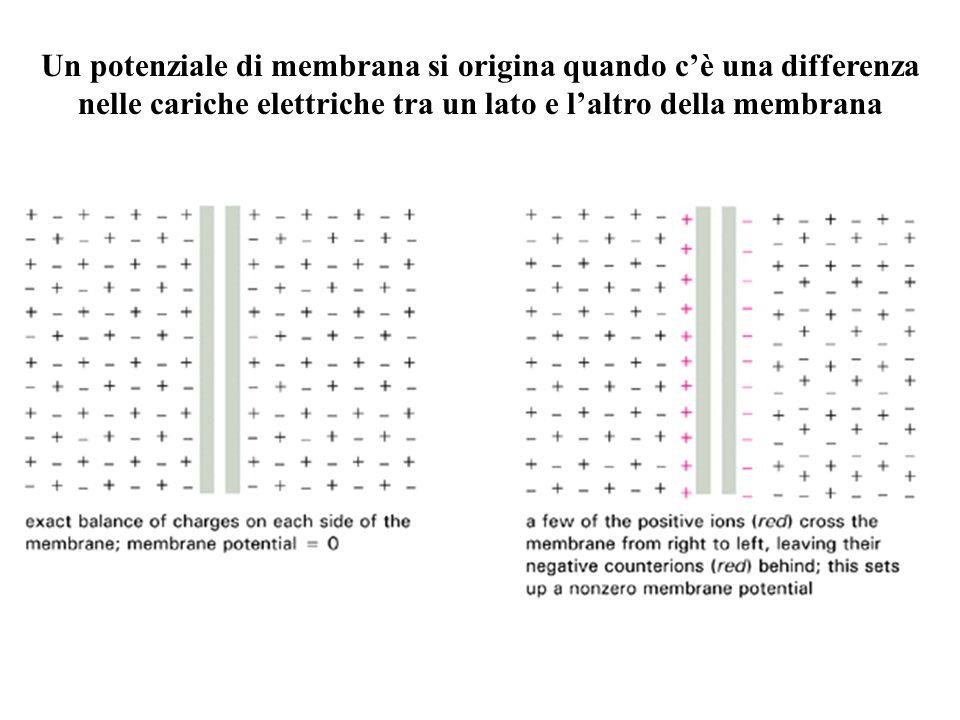 Un potenziale di membrana si origina quando c'è una differenza nelle cariche elettriche tra un lato e l'altro della membrana