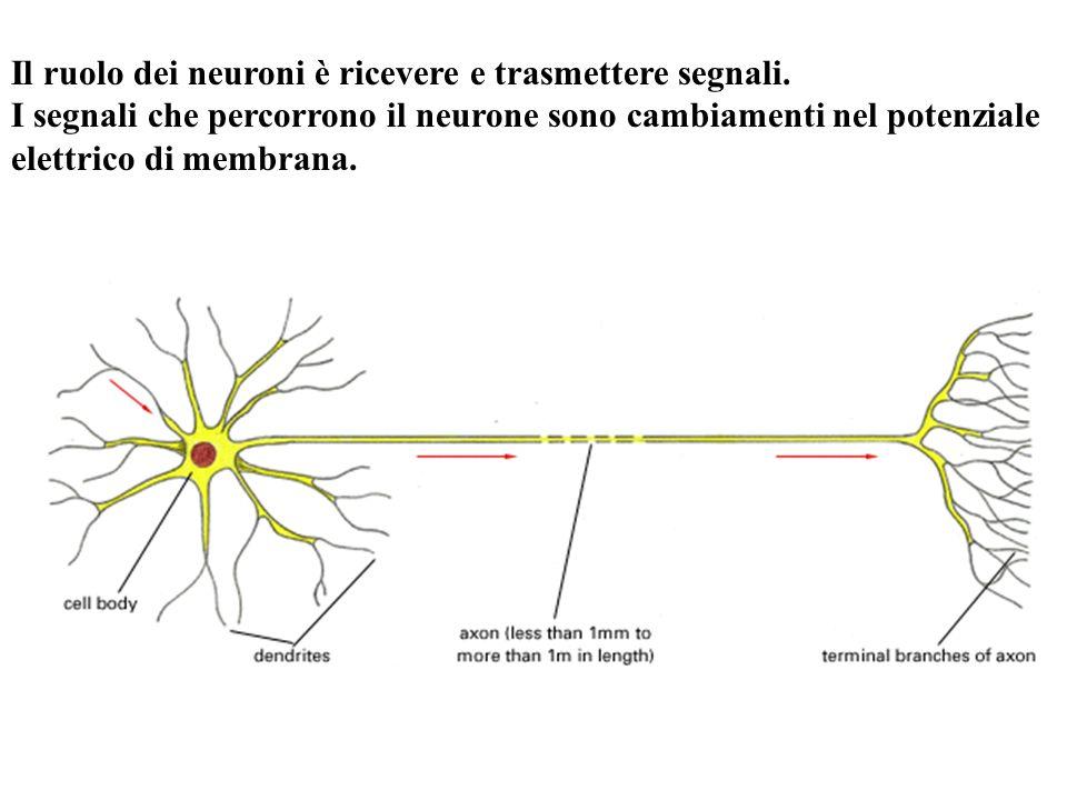 Il ruolo dei neuroni è ricevere e trasmettere segnali.