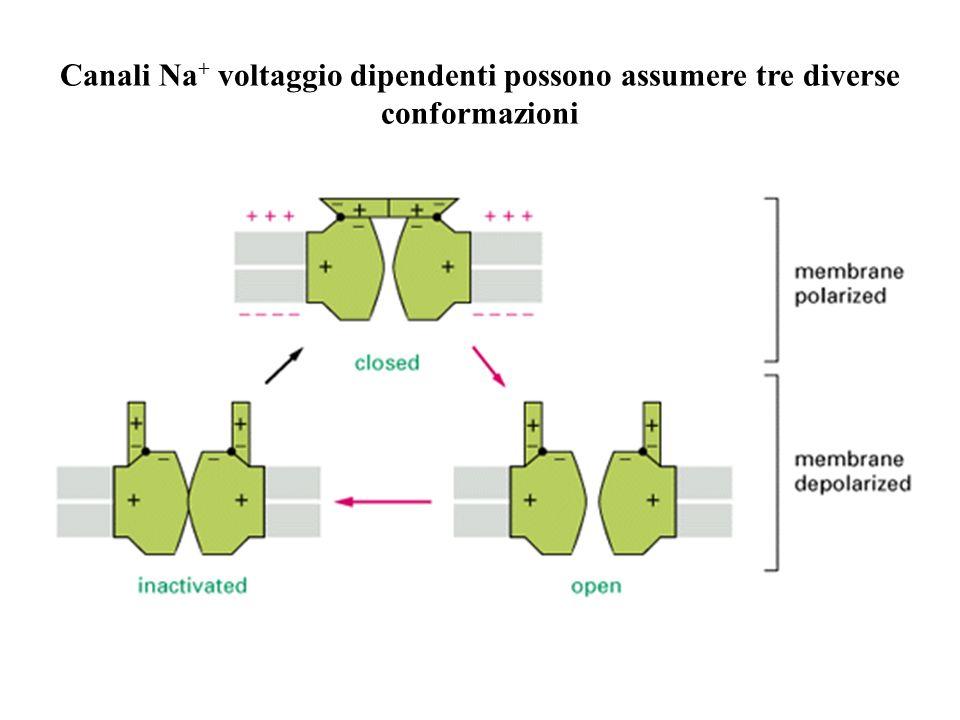 Canali Na+ voltaggio dipendenti possono assumere tre diverse conformazioni