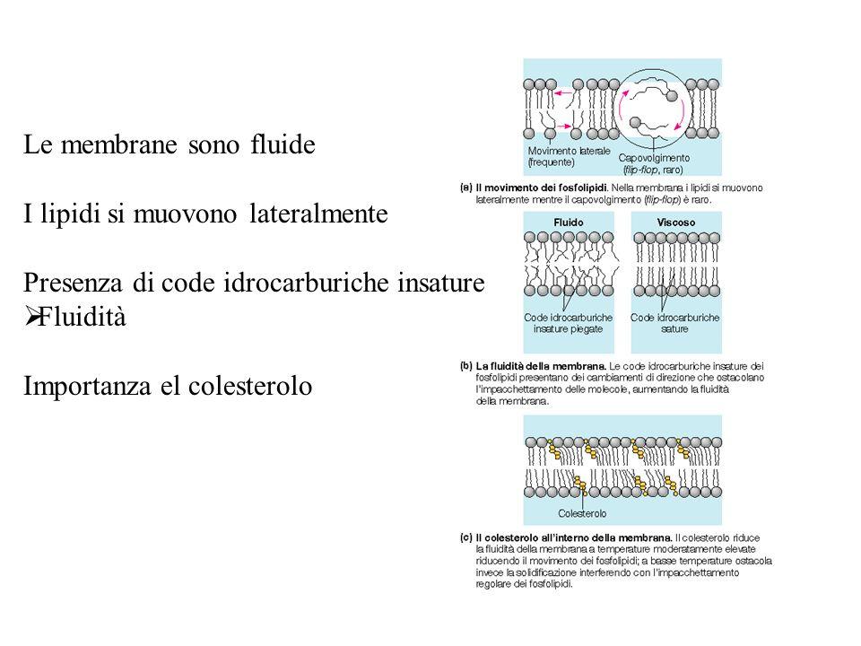 Le membrane sono fluide