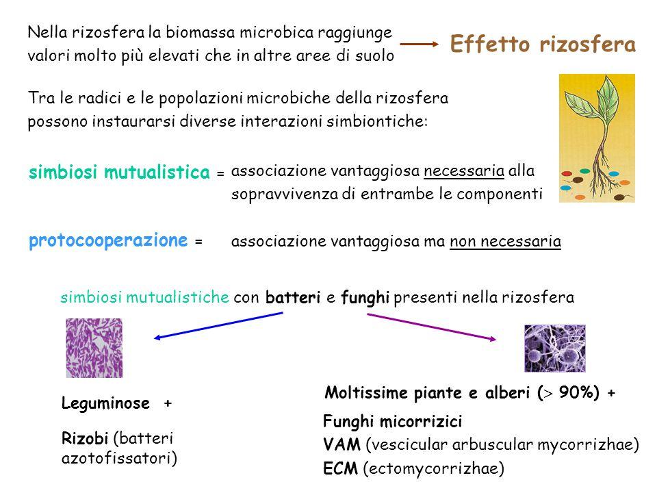 Effetto rizosfera simbiosi mutualistica = protocooperazione =