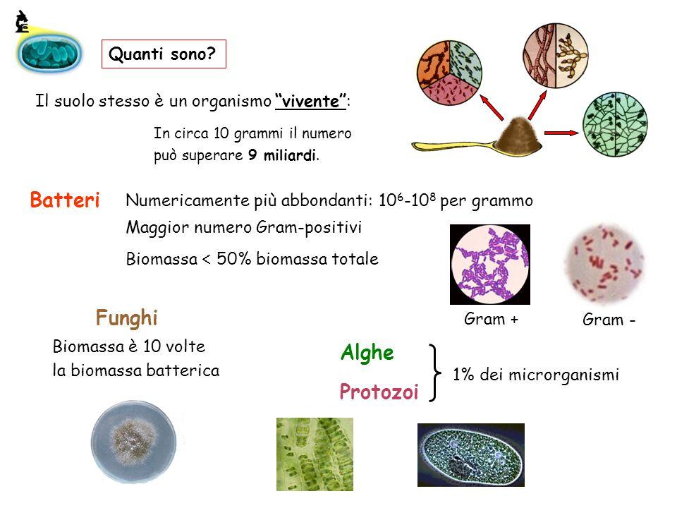 Batteri Funghi Alghe Protozoi Quanti sono