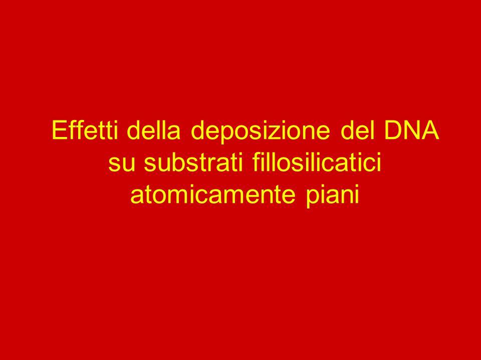 Effetti della deposizione del DNA su substrati fillosilicatici atomicamente piani