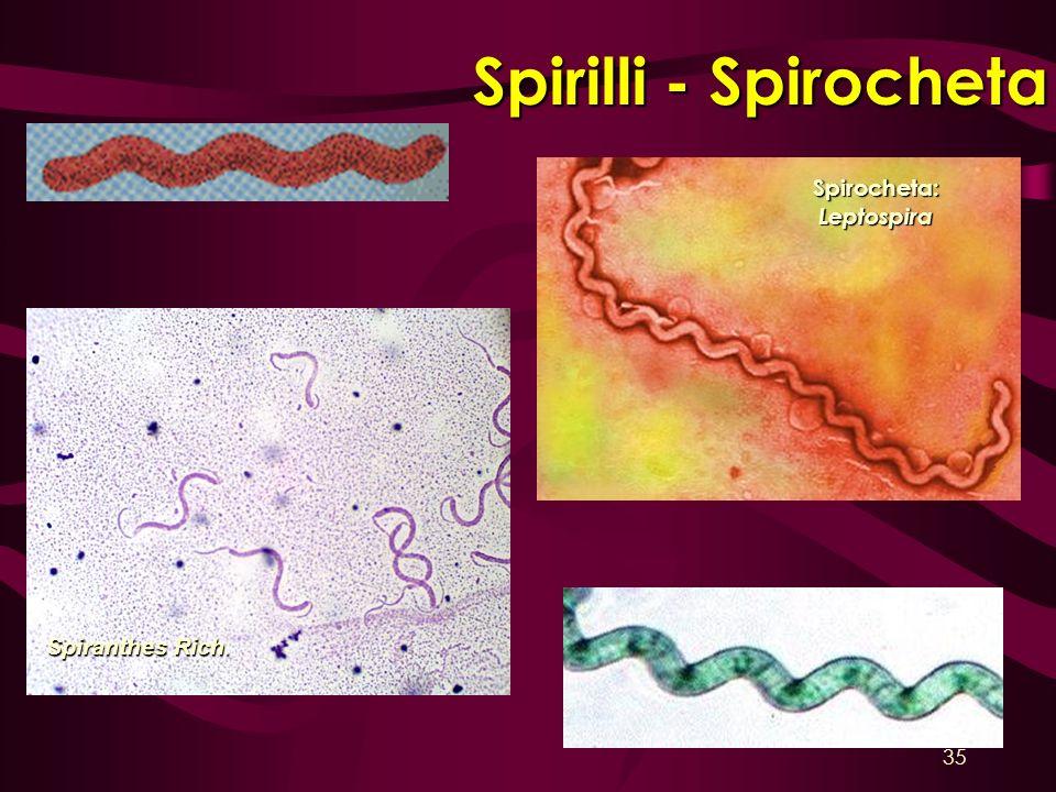 Spirilli - Spirocheta Spirocheta: Leptospira Spiranthes Rich.