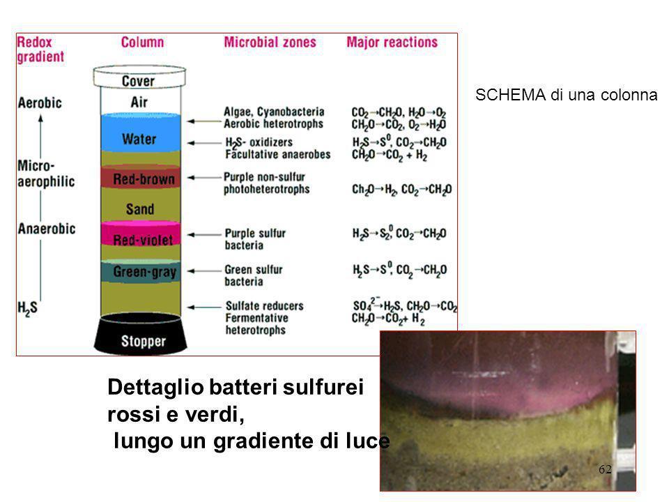 Dettaglio batteri sulfurei rossi e verdi, lungo un gradiente di luce