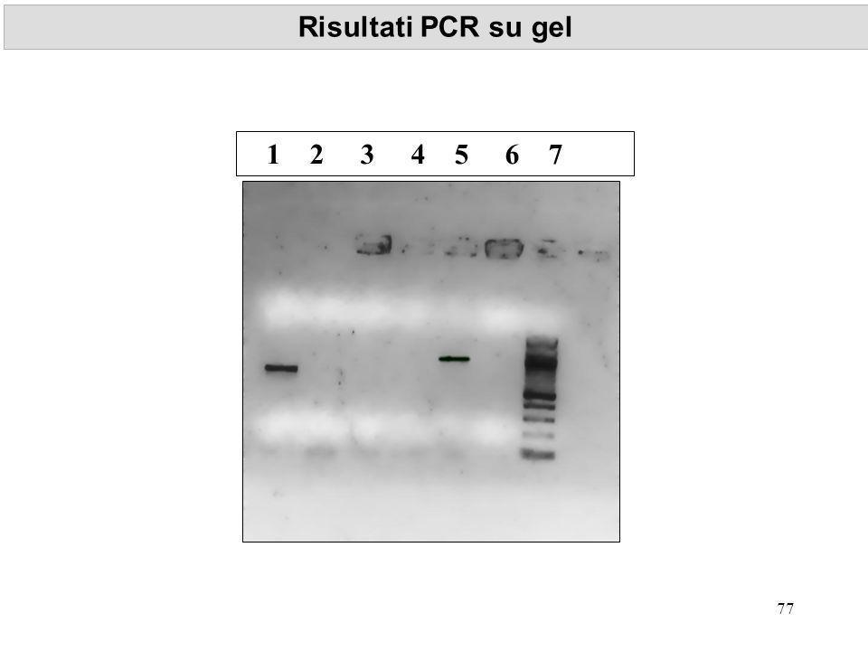 Risultati PCR su gel 1 2 3 4 5 6 7