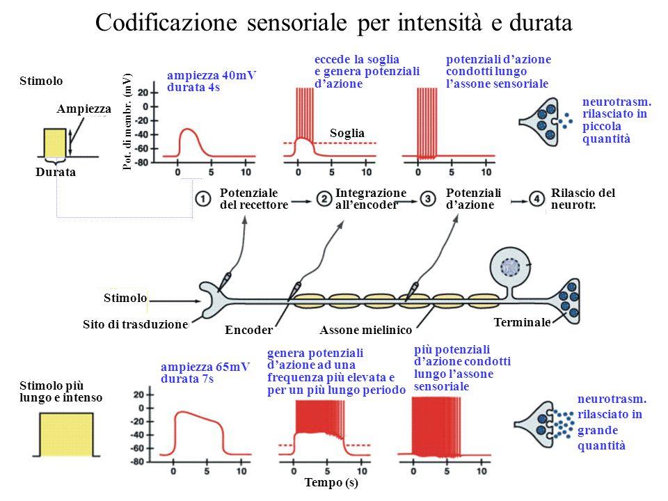 Codificazione sensoriale per intensità e durata