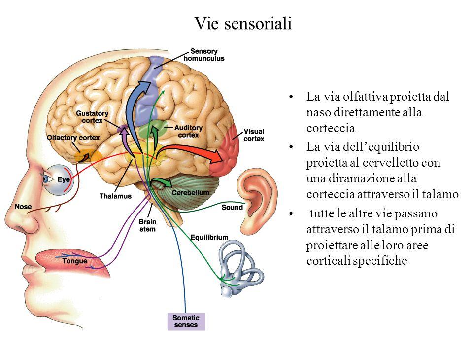 Vie sensoriali La via olfattiva proietta dal naso direttamente alla corteccia.