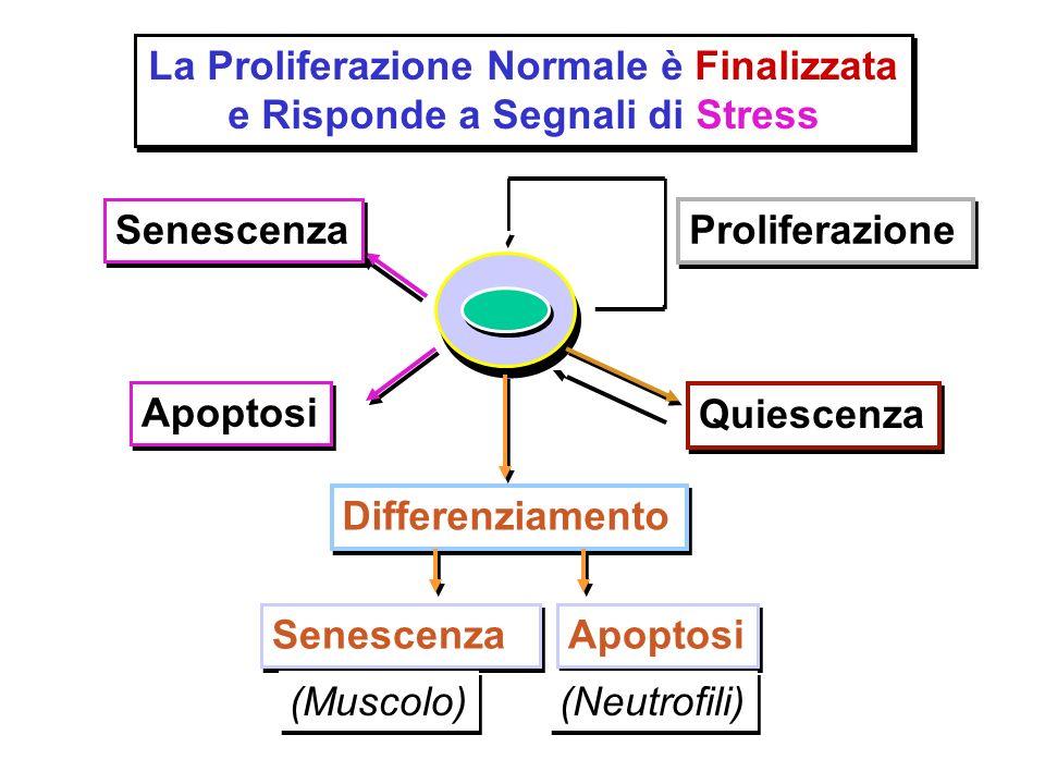 La Proliferazione Normale è Finalizzata e Risponde a Segnali di Stress