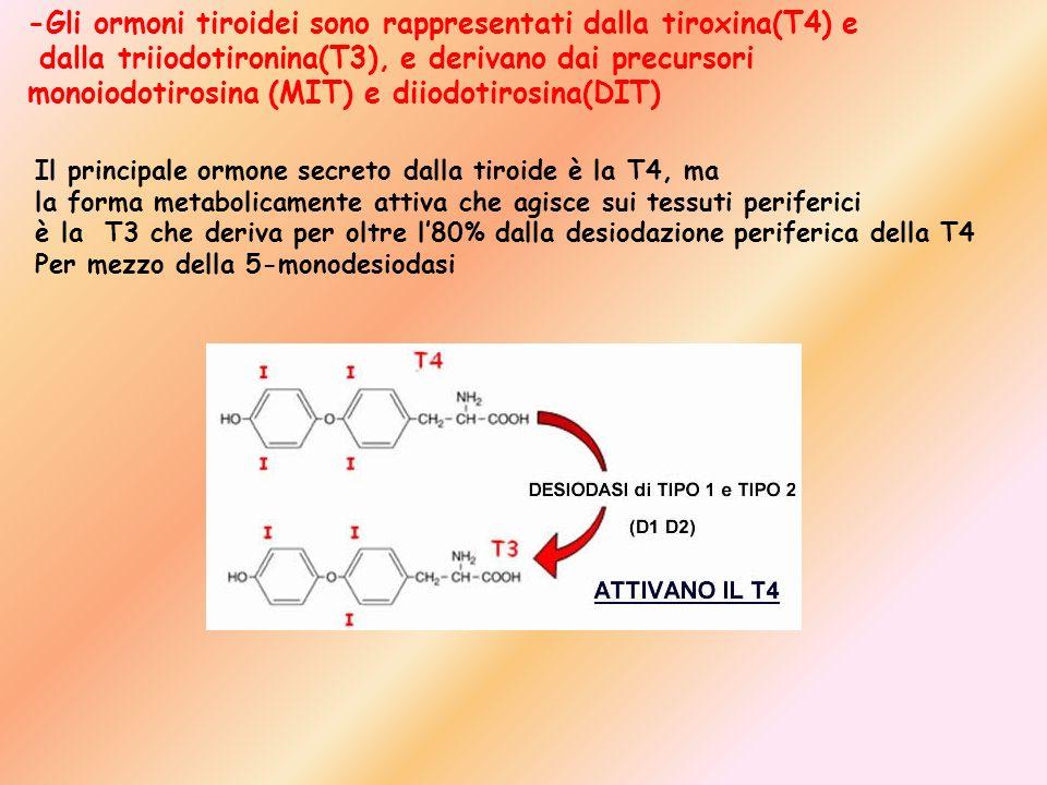 -Gli ormoni tiroidei sono rappresentati dalla tiroxina(T4) e