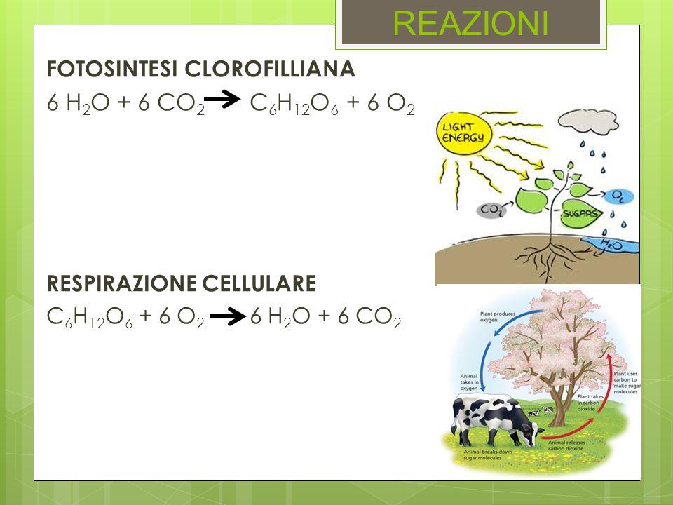 REAZIONI 6 H2O + 6 CO2 C6H12O6 + 6 O2 FOTOSINTESI CLOROFILLIANA