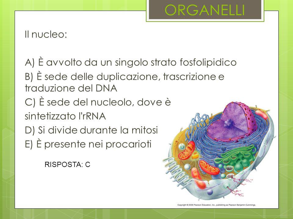 ORGANELLI Il nucleo: A) È avvolto da un singolo strato fosfolipidico