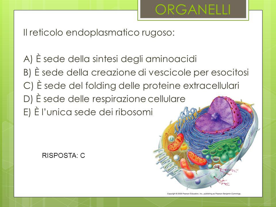 ORGANELLI Il reticolo endoplasmatico rugoso: