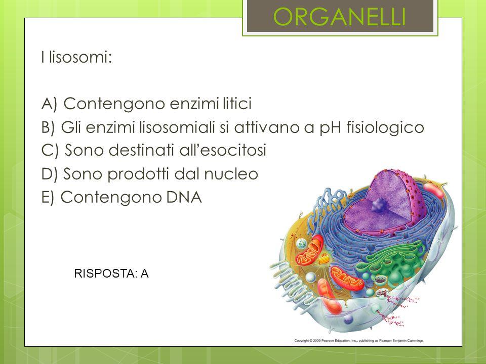 ORGANELLI I lisosomi: A) Contengono enzimi litici