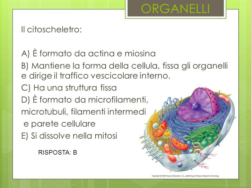 ORGANELLI Il citoscheletro: A) È formato da actina e miosina
