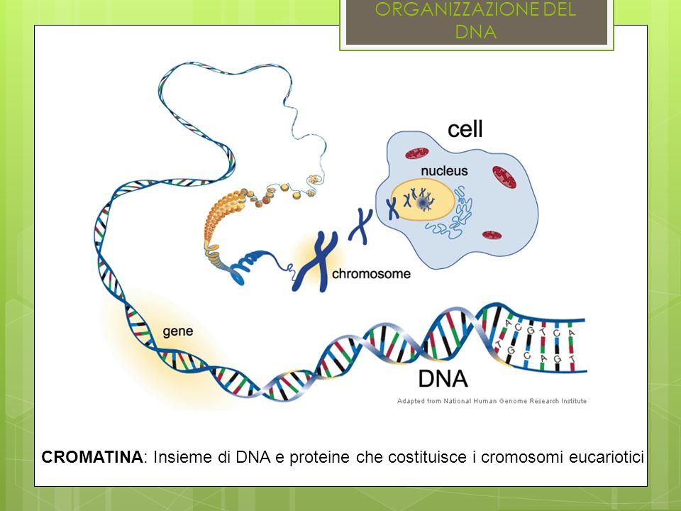 ORGANIZZAZIONE DEL DNA