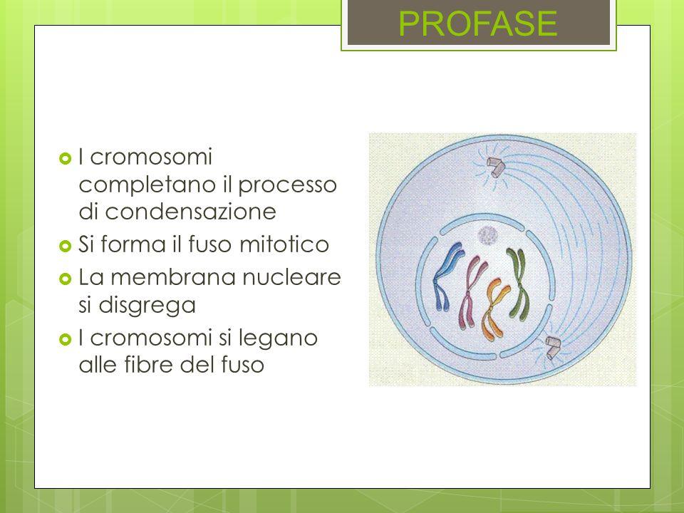 PROFASE I cromosomi completano il processo di condensazione