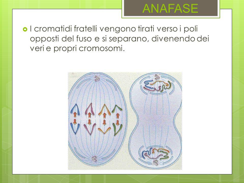 ANAFASEI cromatidi fratelli vengono tirati verso i poli opposti del fuso e si separano, divenendo dei veri e propri cromosomi.