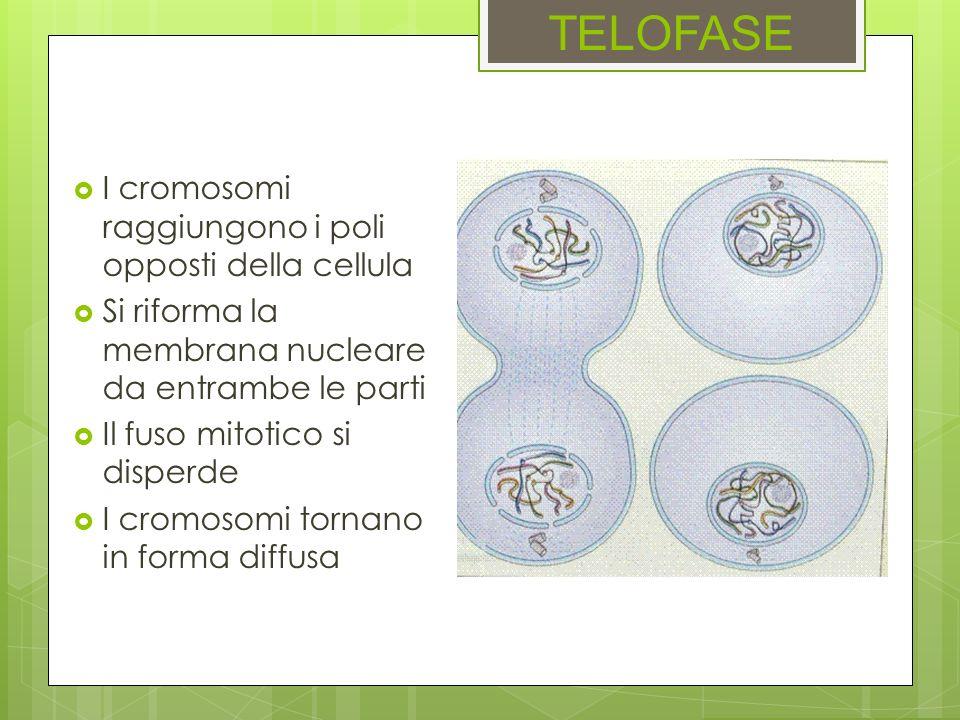 TELOFASE I cromosomi raggiungono i poli opposti della cellula
