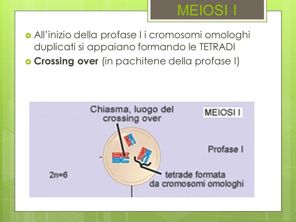 MEIOSI IAll'inizio della profase I i cromosomi omologhi duplicati si appaiano formando le TETRADI.