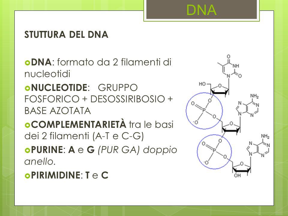 DNA STUTTURA DEL DNA DNA: formato da 2 filamenti di nucleotidi