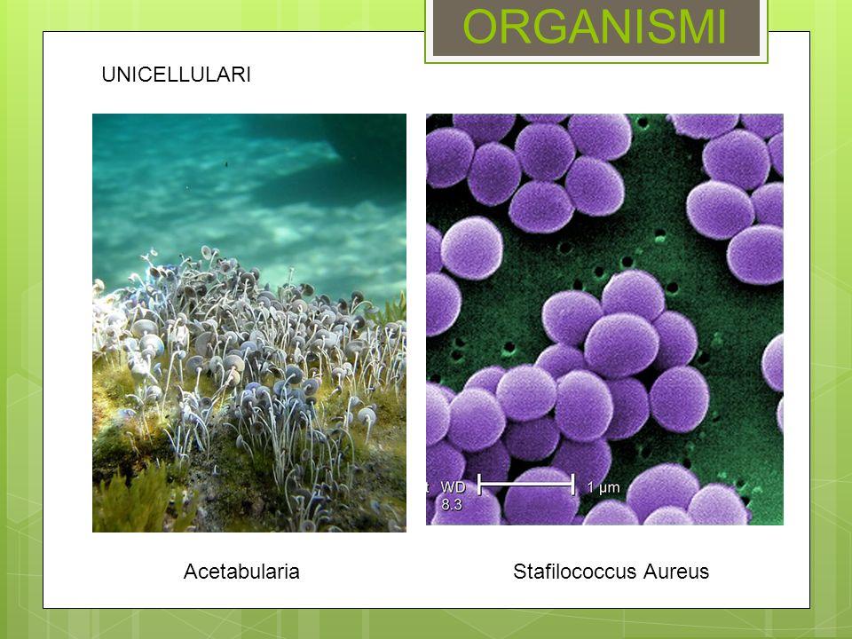 ORGANISMI UNICELLULARI Acetabularia Stafilococcus Aureus