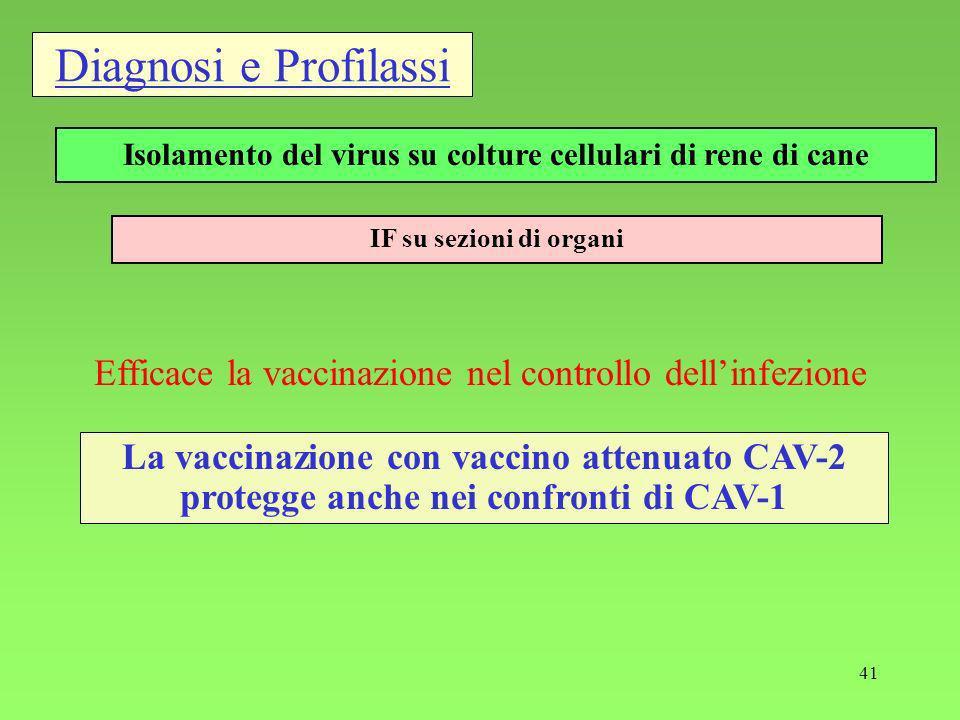 Isolamento del virus su colture cellulari di rene di cane