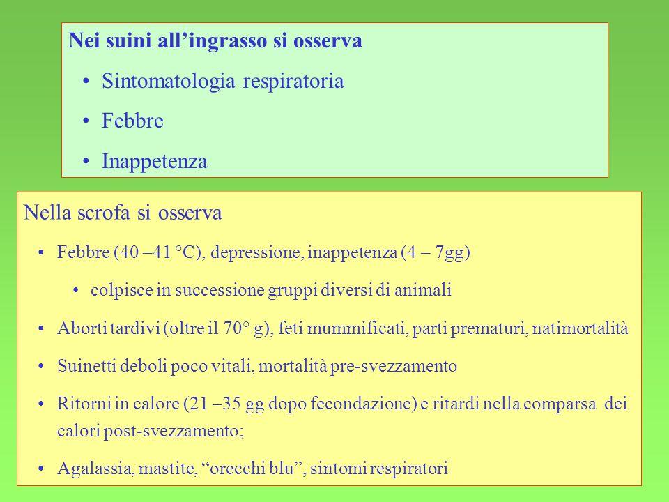 Nei suini all'ingrasso si osserva Sintomatologia respiratoria Febbre