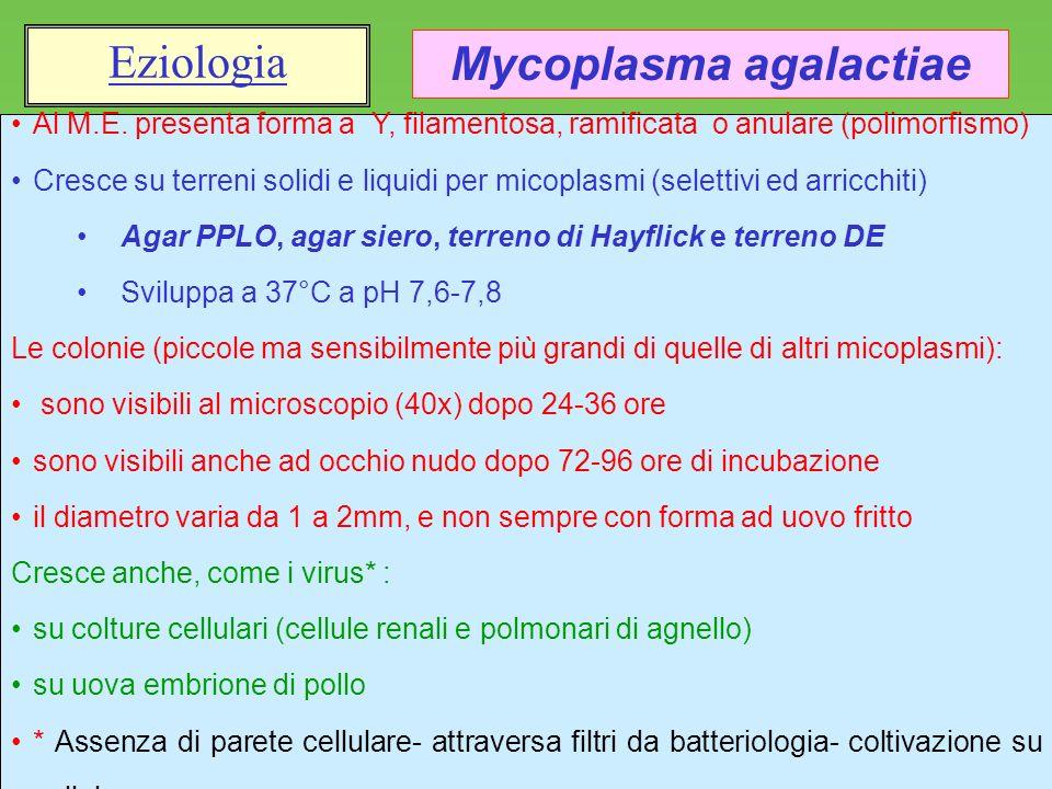 Mycoplasma agalactiae