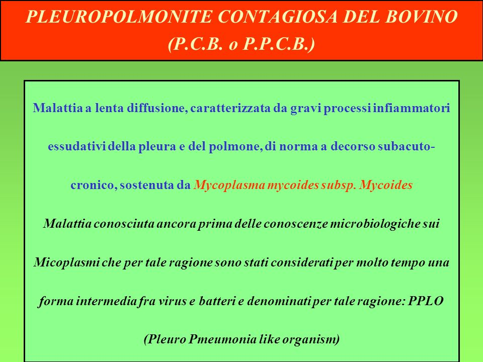 PLEUROPOLMONITE CONTAGIOSA DEL BOVINO (Pleuro Pmeumonia like organism)