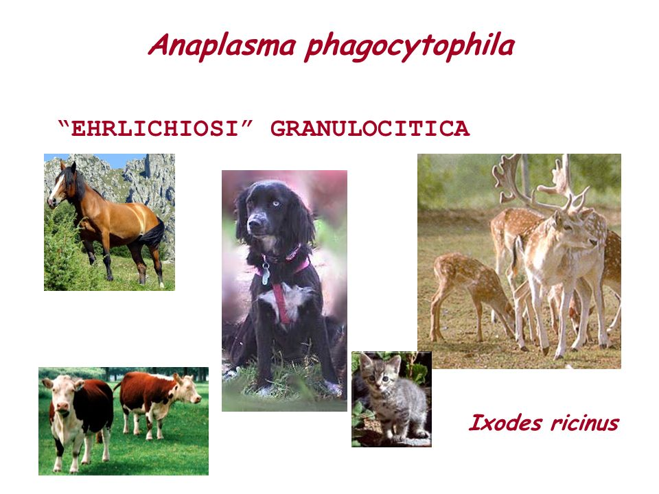 Anaplasma phagocytophila