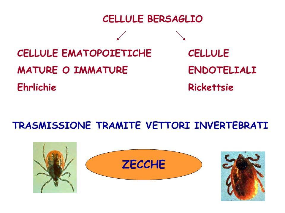 ZECCHE CELLULE BERSAGLIO CELLULE EMATOPOIETICHE CELLULE