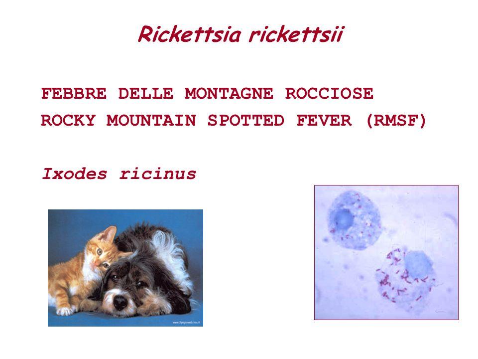 Rickettsia rickettsii
