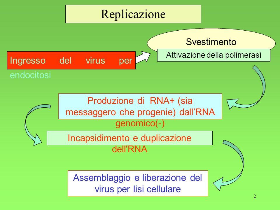 Replicazione Svestimento Ingresso del virus per endocitosi