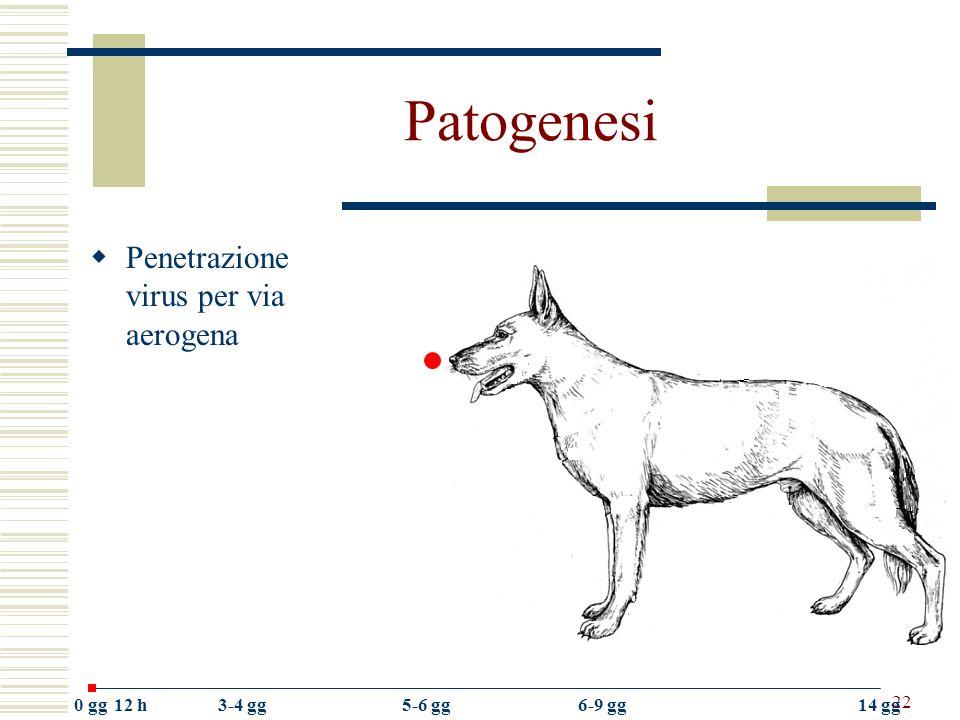 Patogenesi Penetrazione virus per via aerogena 0 gg 12 h 3-4 gg 5-6 gg