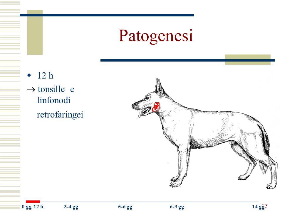 Patogenesi 12 h  tonsille e linfonodi retrofaringei 0 gg 12 h 3-4 gg