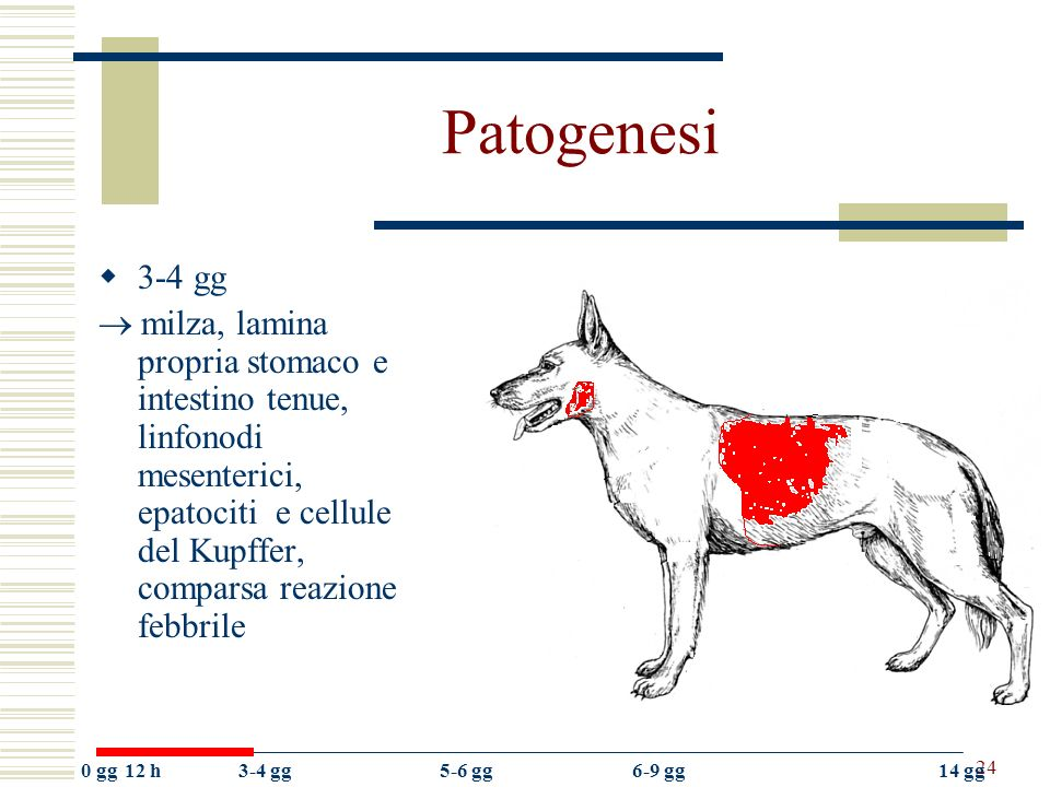 Patogenesi 3-4 gg.