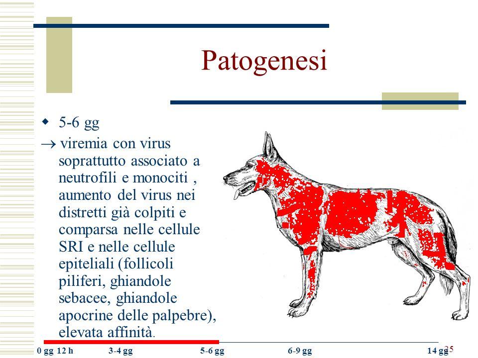 Patogenesi 5-6 gg.