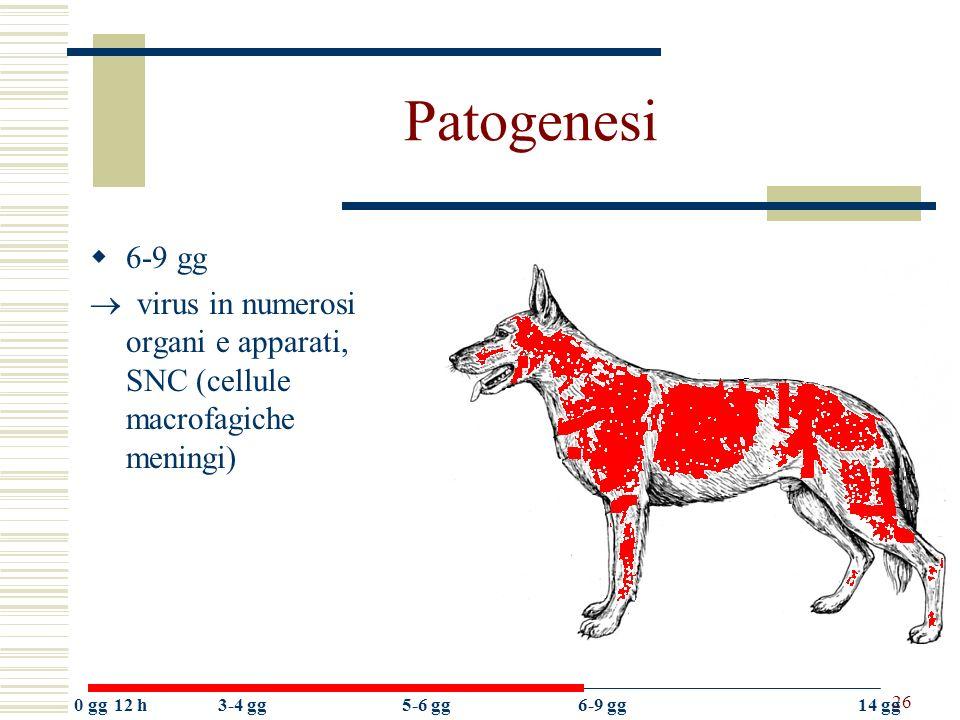 Patogenesi 6-9 gg.  virus in numerosi organi e apparati, SNC (cellule macrofagiche meningi) 0 gg.