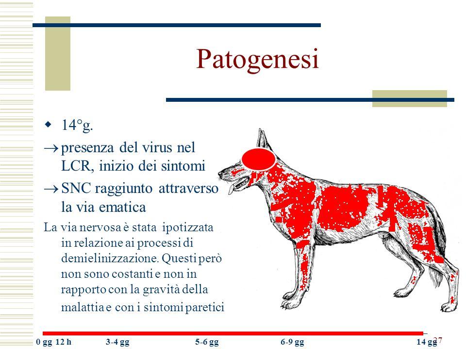Patogenesi 14°g. presenza del virus nel LCR, inizio dei sintomi