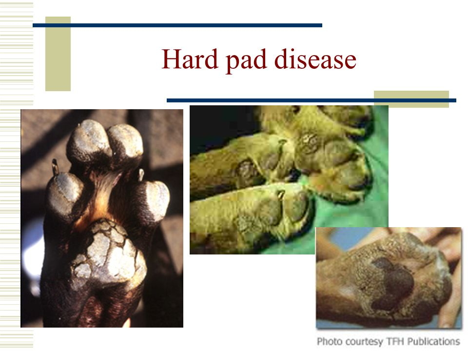 Hard pad disease