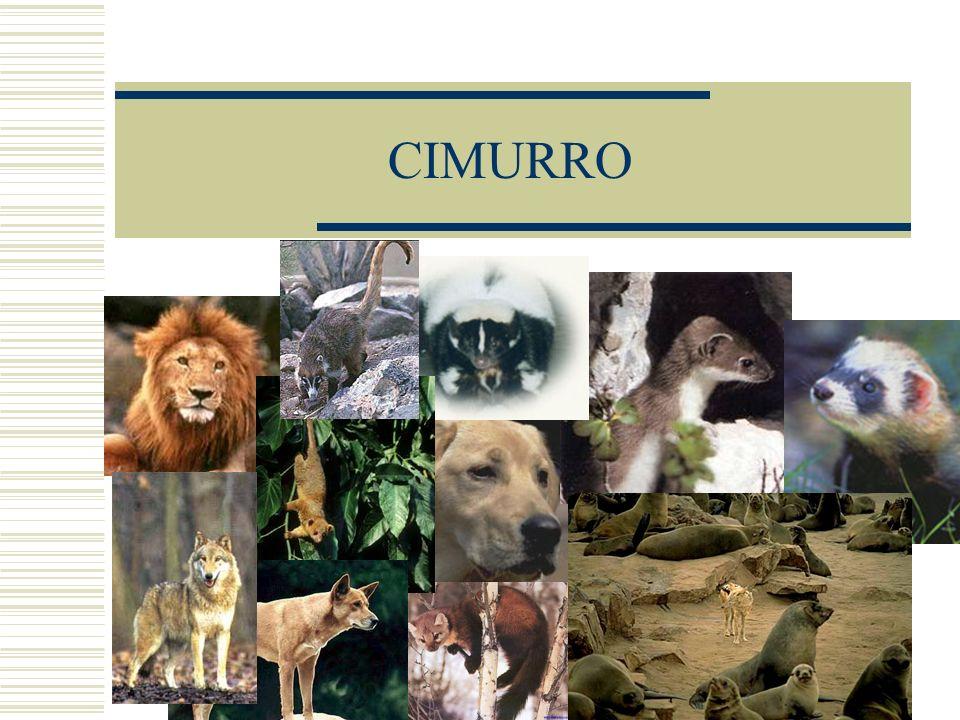 CIMURRO