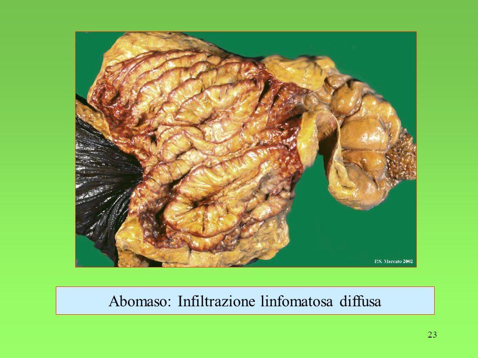 Abomaso: Infiltrazione linfomatosa diffusa