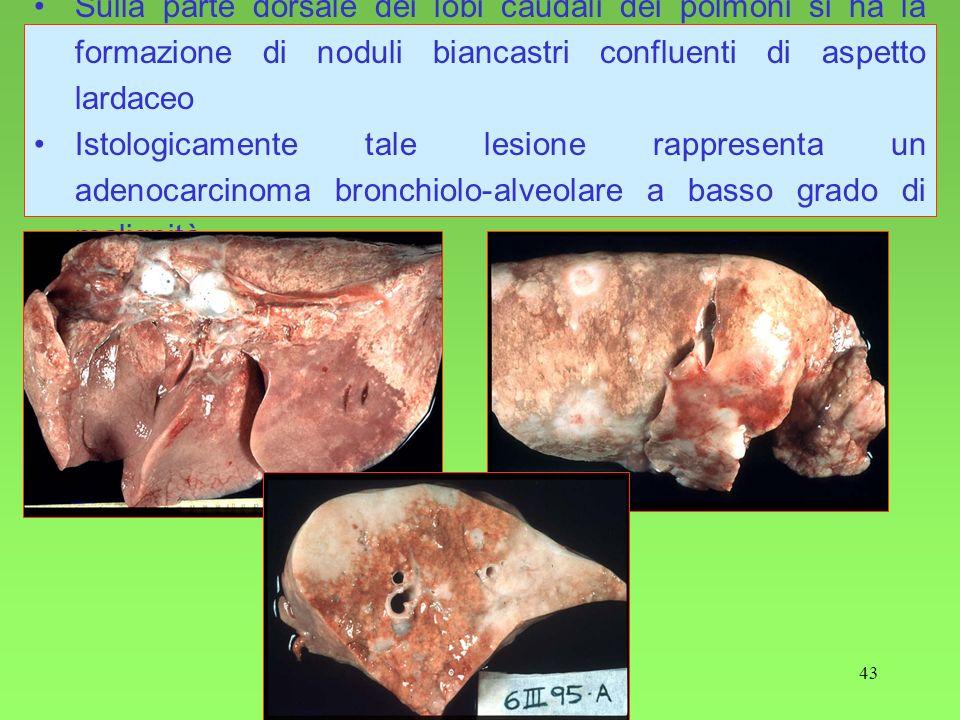 Sulla parte dorsale dei lobi caudali dei polmoni si ha la formazione di noduli biancastri confluenti di aspetto lardaceo