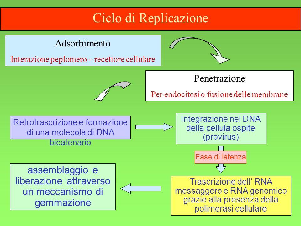 Ciclo di Replicazione Adsorbimento Penetrazione