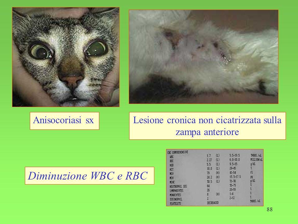 Lesione cronica non cicatrizzata sulla zampa anteriore