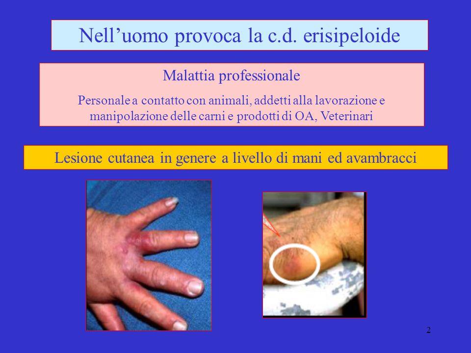 Nell'uomo provoca la c.d. erisipeloide