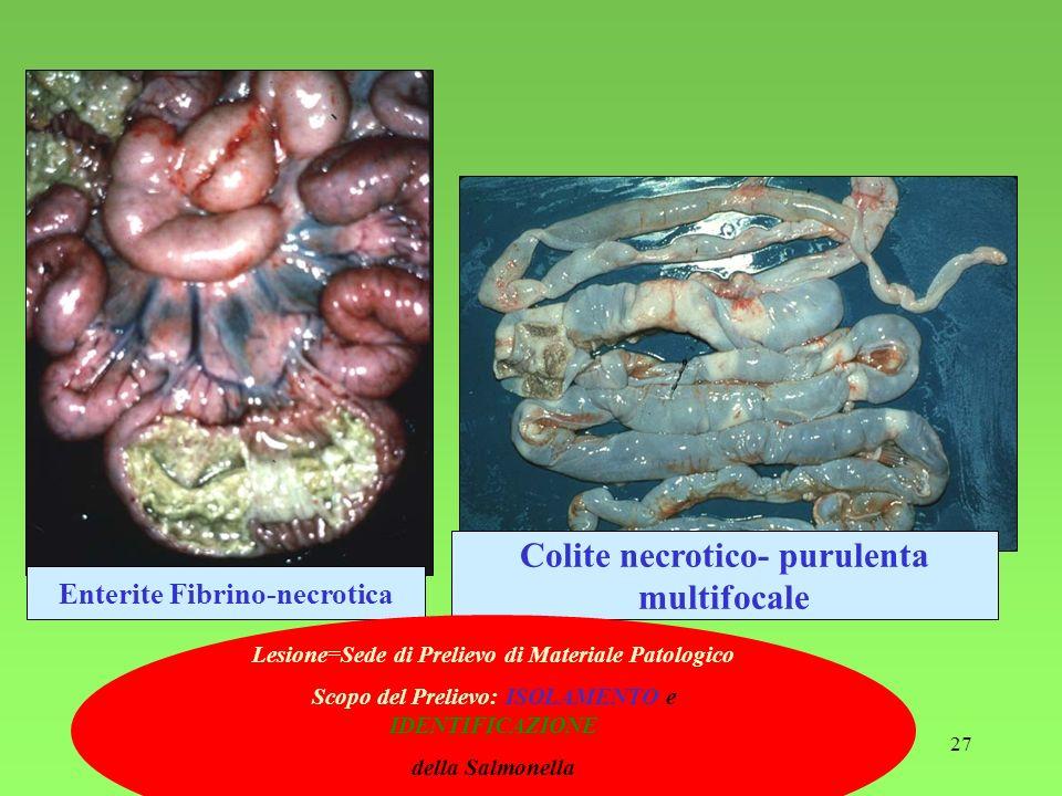 Colite necrotico- purulenta multifocale